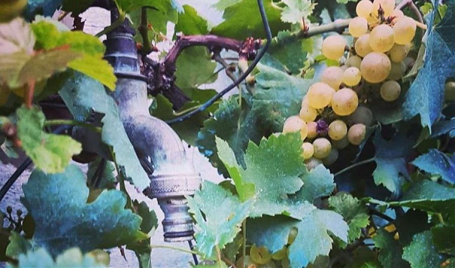 Outdoor tap, vines and grapes.