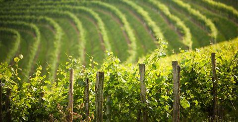 Vue sur la vigne clos mirabel a jurancon.